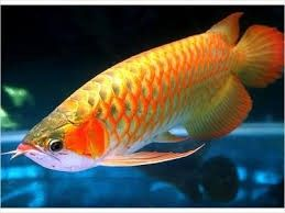24k gold arowana fish for sale and stingrays for sale