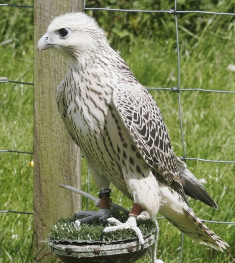 BREEDING PAIR PURE GYRFALCONS, PEREGRINES & SAKER FALCONS for sale!!